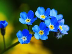 Forget me nots......love these happy blue faces!