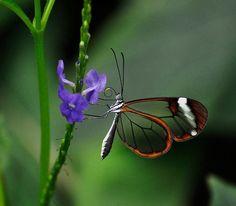 Glass butterfly <3