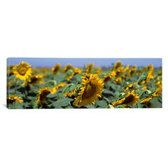 """East Urban Home Panoramic California, Central Valley, Field of Sunflowers Photographic Print on Canvas Size: 30"""" H x 90"""" W x 1.5"""" D"""