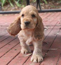 Cute Baby Cats, Baby Dogs, Cute Baby Animals, Funny Animals, Perro Cocker Spaniel, English Cocker Spaniel Puppies, Cut Animals, Animals And Pets, Cute Puppies