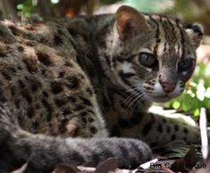 Asian leopard cat facts