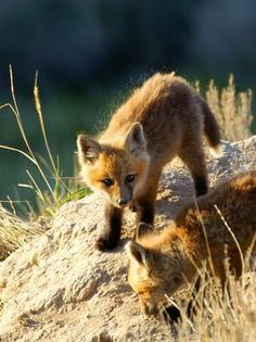Two cute baby foxes play together near the Bureau of