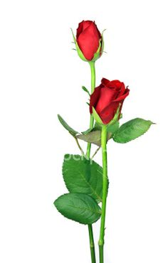 image long stem rose | Pair of perfect long stemmed red roses and leaves isolated. Royalty ...