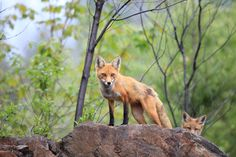 Photograph Fox Friday by Megan Lorenz on 500px