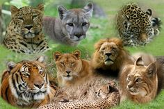 Types Of Big Cats   ... roleplay you can play any type of big cat you please even hybrids