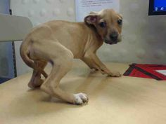 03/20/17-HOUSTON-EXTREMELY URGENT -This DOG - ID#A479839 I am a female, tan Labrador Retriever mix. My age is unknown. I have been at the shelter since Mar 20, 2017. This information was refreshed 5 minutes ago and may not represent all of the animals at the Harris County Public Health and Environmental Services.