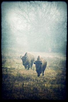 bison - buffalo photography, wildlife photo, animal, southwestern photo - western print on Etsy, $25.00