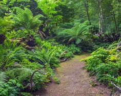 Vashon Island, WA: Pathway leads through the Stumpery Garden featuring a variety of ferns, hostas and woodland plants.