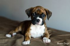 More About Boxer Dog Painting Source by The post Boxer Puppy With Kids appeared first on Daisy Dogs. Pitbull Boxer, Brindle Boxer Puppies, Cute Boxer Puppies, Boxer Dog Breed, Cute Dogs, Dogs And Puppies, Doggies, Boxer And Baby, Boxer Love