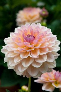 Maya Dahlia: The only information I can find is on Dave's Garden which lists the bloom between and the bush height as The color is said to be yellow-pink blends; Exotic Flowers, Amazing Flowers, My Flower, Beautiful Flowers, Dahlia Flowers, Purple Dahlia, Growing Dahlias, Maya, Pinterest Garden