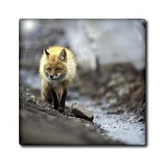 """Alaska, Denali NP, Thorofare Pass. Arctic fox - US02 PSO0538 - Paul Souders - 12 Inch Ceramic Tile by 3dRose. $22.99. Construction grade. Floor installation not recommended.. Dimensions: 12"""" H x 12"""" W x 1/4"""" D. Image applied to the top surface. Clean with mild detergent. High gloss finish. Alaska, Denali NP, Thorofare Pass. Arctic fox - US02 PSO0538 - Paul Souders Tile is great for a backsplash, countertop or as an accent. This commercial quality construction grade t..."""