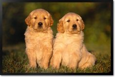 The Golden Labrador Puppies in the grass pet dining mat is vibrant and original. Made in the USA!, No more bowls sliding around the floor. This machine washable pet placemat is non-toxic, hypo-allerge