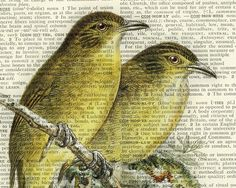 18oo's Bulbul Songbird artwork  -  printed on page from old dictionary--just stunning!