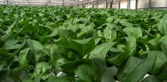 This month's Harvest of the Month is organic Bloomsdale Spinach from Go Green Agriculture in Encinitas, CA.