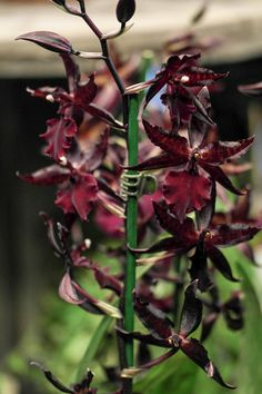 Cambria-like orchid.
