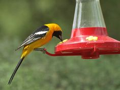41 Amazing Diy Hummingbird Feeder Ideas To Apply In Your Garden. Attracting birds to the backyard with a feeder gives the perfect opportunity to observe the local species up close. A bird feeder . Hummingbird Nectar, Hummingbird Food, Diy Hacks, Oriole Bird Feeders, Platform Bird Feeder, Hanging Bird Feeders, Different Birds, Backyard Birds, Small Birds