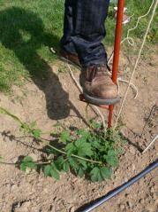 Hop cultivation tips
