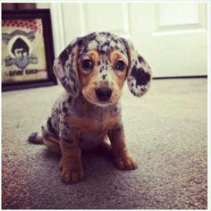 Australian Shepard Daschund puppy
