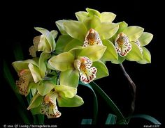 pictures of black background with all colors of orchids | Home / Studio images / Orchids / Cymbidium / stud11377