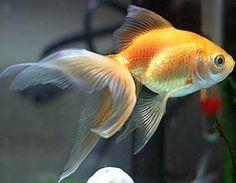 Oranda Goldfish Colors | Goldfish Care - Types | Pictures | Diseases and Treatment