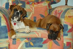 Oscar & Bruno our boxer dogs, who are half-brothers, looking very comfortable on our armchair.