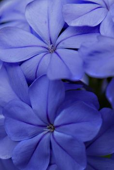 ~~Shades Of Blue ~ Plumbago By Bob Johnson~~ Reminds Me Of The House I Grew  Up In!