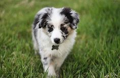 @luna_the_aussie__ (It is plagiarism if you repost this image without citing & crediting the repost to this  proper owner. Again if you do not cite its plagiarism) ____ How to be featured: 1. Follow @herdingdogfever 2. Turn on post notifications 3. Hashtag to #HerdingDogFever ____ #miniaussie #aussiesofinstagram #redmerle #dogsofinstagram #petstagram #australianshepherd #dogoftheday #doglover #dog_features #aplacetolovedogs #dogfeaturing #collies #sendadogphoto #lacyandpaws #bordercollie…