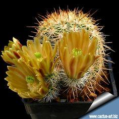 Echinocereus chloranthus v. cylindricus