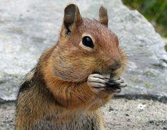 Cascade Golden-Mantled Ground Squirrel (Callospermophilus saturatus)…