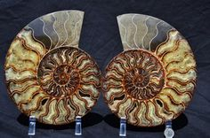 FREE Usa Shipping Fossil Pair Ammonite Great by Paulstaberminerals, $379.99