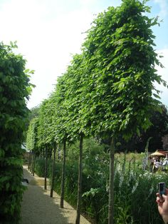 Narrow pleached hedge forms allee