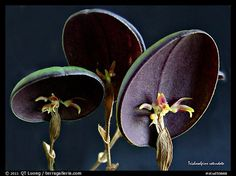 Picture/Photo: Trichosalpinx rotundata plant. A species orchid