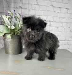 Pee Wee - Yorkie-Pom Puppy for Sale in Athens, WI   Lancaster Puppies Yorkie Dogs For Sale, Lake Orion, Lancaster Puppies, Animals, Animales, Animaux, Animal, Animais