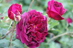 VÅRLI : Munstead Wood - Årets nykommer i rosehagen