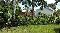 Nice side fence, and Clusia hedge Clusia, Home Reno, Hedges, Fence, Landscaping, Sweet Home, Backyard, Plants, Beautiful