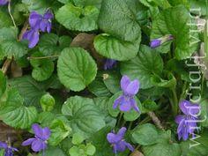 Sweet Violet Milk Cleanser (Viola Odorata)