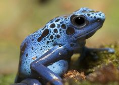 Treadmill Test Reveals Most Poisonous Frogs are Best Frog Athletes ...