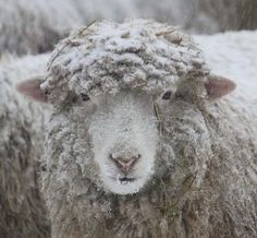 winter snow sheep.....