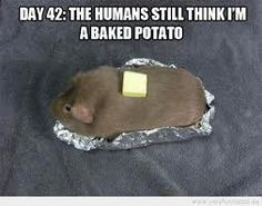 hamster funny - Google Search ^^SRSLY? THAT'S A GUINEA PIG^^ I can't believe that's not butter!