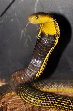 From Samar Island, southern Philippines. Snake Art, Pet Snake, Amphibians, Reptiles, Exotic Pets, Exotic Animals, Strange Animals, King Cobra Snake, Snake Photos