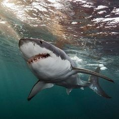 A Great White Shark Swims below the surface in the waters off South Australia. The largest predatory fish in the ocean, White Sharks are endothermic, meaning they can generate heat within their bodies allowing them to pursue prey in colder seas. Orcas, Shark In The Ocean, Wildlife Day, Shark Photos, Shark Bait, Shark Swimming, Shark Diving, Great White Shark, Ocean Creatures