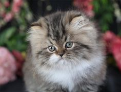 Persian Cat Characteristics