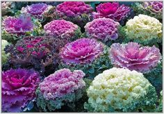 this looks like ornamental cabbage and flowering kale mixed together in landscape