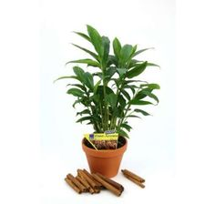 Elettaria cardamonum / Kardamón so škoricovou arómou, cm, Shops, Ale, Planter Pots, Inspiration, Plants, Winter Garden, Cinnamon, Biblical Inspiration, Tents