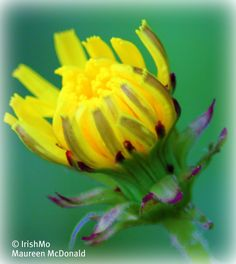 Yellow Wildflower in the Park by Maureen McDonald