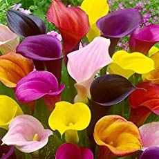 Calla lily bulbs produce beautiful pure white, yellow and pink trumpet-shaped flowers. Calla lilies grow easily we'll show you how. Calla Lily Flowers, Calla Lillies, Bulb Flowers, Asiatic Lilies, Black Flowers, Exotic Flowers, Beautiful Flowers, Lily Care, Zantedeschia