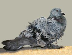 Frillback Pigeon. Nature is incredible.
