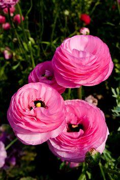 Persian buttercup ~ Ranunculus.