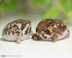 Cutes frog