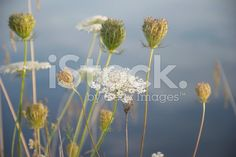 Queen's Anne Lace plant in Pastel Tones royalty-free stock photo Royalty Free Images, Royalty Free Stock Photos, Natural Background, Queen Annes Lace, Closer To Nature, Image Now, Pastel, Flowers, Plants
